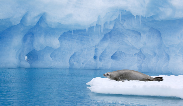 Seal Resting On Ice